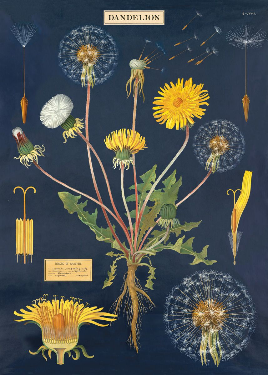 maple-st-acupuncture-herb-of-the-month-dandelion