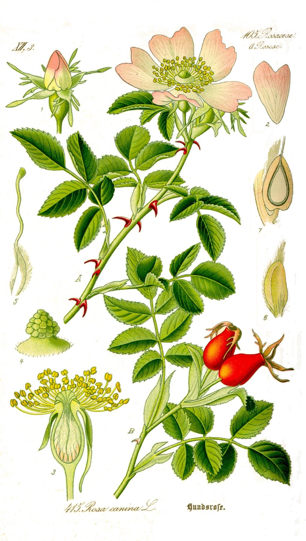 maple-st-herb-of-the-month-rose